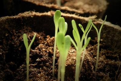 Thin seedlings after they develop a second set of leaves.