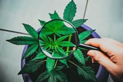 Medium cannabis