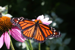 Monarch butterflies are small beauties that have a big impact on our environment.