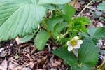 Plant strawberries in fall for spring fruits.