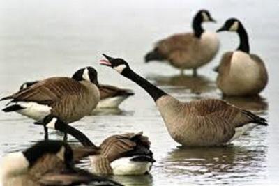 Medium geese