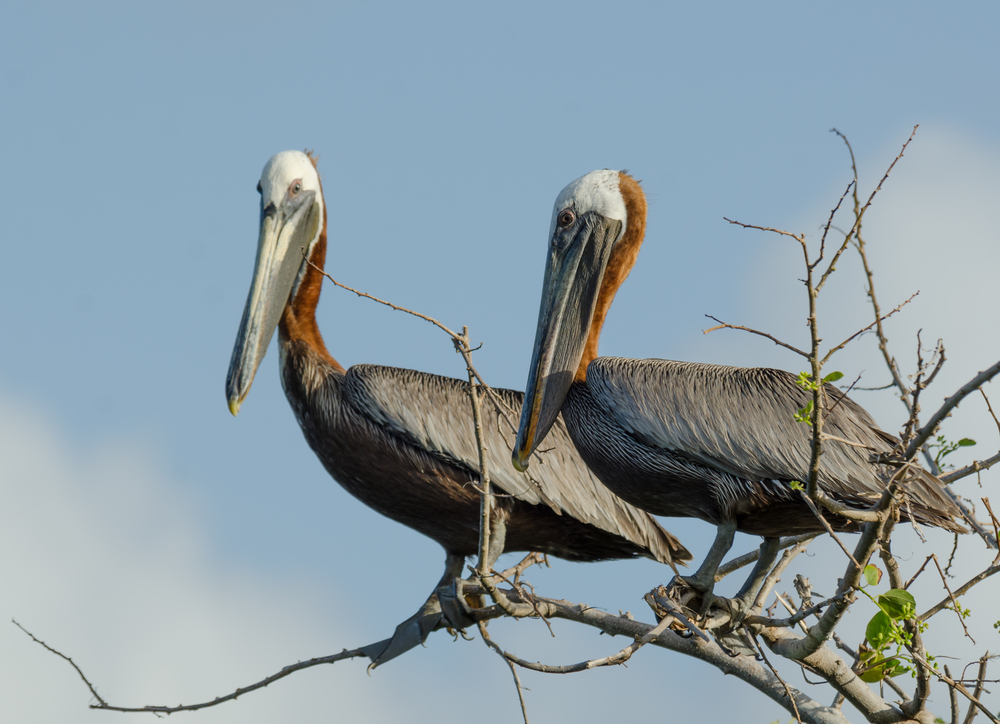 Brown pelicans can be good indicators of the health of coastal, estuarine and marine systems in this area.