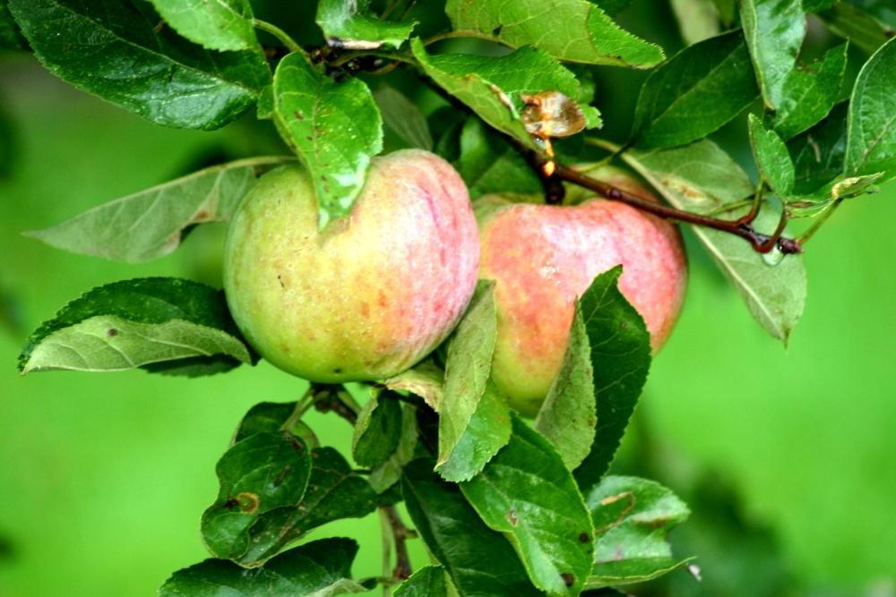 Appletree 1000x667