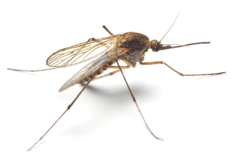 Not all mosquitoes carry malaria.