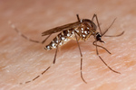 The mosquito might be one of the most unwelcome guests in just about every corner of the globe.