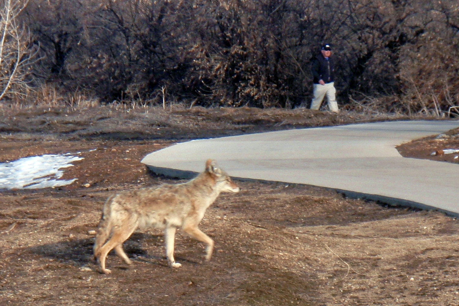 Unlike the wolf, coyotes have adapted well to humans and are now often found in urban environments.