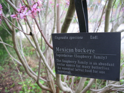 The Mexican buckeye is an easy-to-grow plant that's right at home in Austin landscapes.