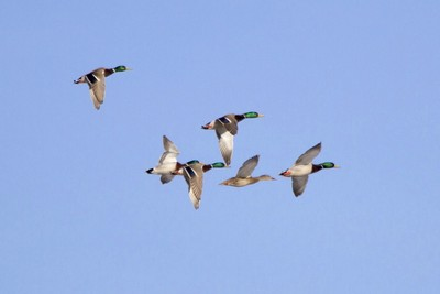 API officials believe the opinion shows the Migratory Bird Treaty Act should not be used for overzealous enforcement.