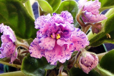 African violets need six to eight hours of bright sunlight daily.