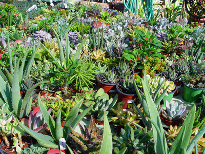 Dividing older plants or densely packed succulents results in many small potted plants that brighten indoor rooms in the winter.