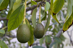 There are three varieties of avocado that can do well in Central Texas.