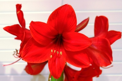 Amaryllis are available in white, coral, red and striped varieties.