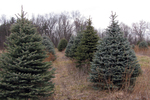 During this time of year, families spend a lot of time and energy to find just the right Christmas tree.