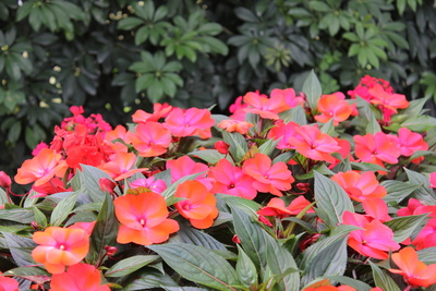 New Guinea Impatiens are a good choice for summer shade gardens.