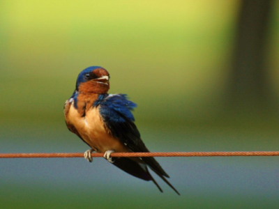 Barn swallows migrate from the summer into fall.