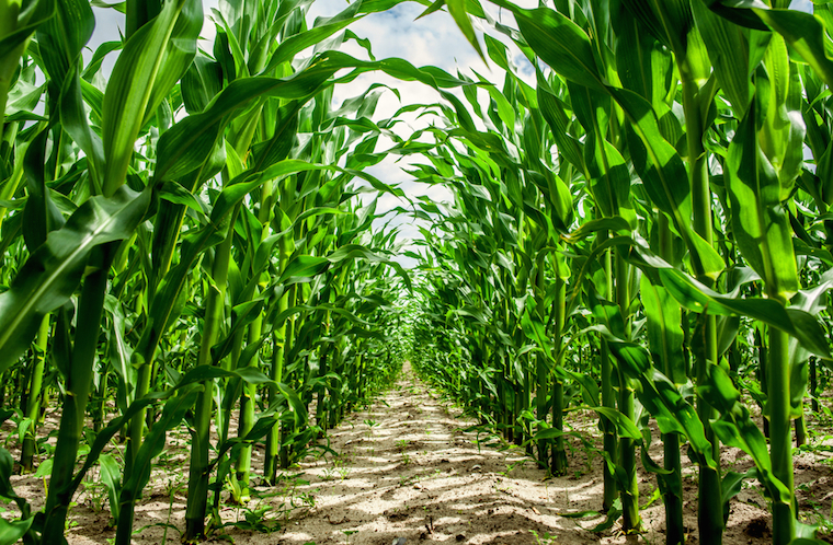 Corn condition remains steady as harvest begins.