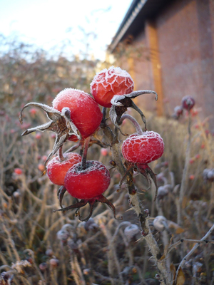 A little preparation will help delicate plants get through cold snaps.