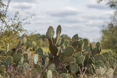 The cactus is one of the plants most consistently identified with Texas, and it remains a favorite for landscaping.