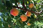 Ripe peaches have a sweet