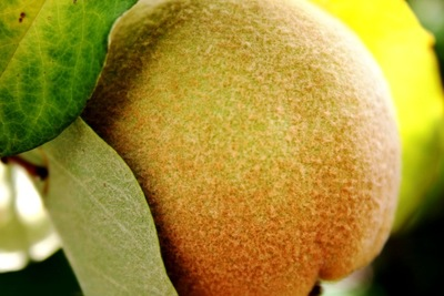 When the underlying green tone is completely yellow, the peach is ready to harvest.