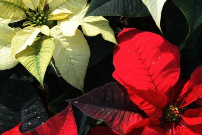 Poinsettia colors range from white to red.
