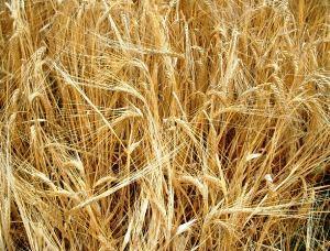 ICARDA develops and shares crop varieties that thrive in poor, dry soils.