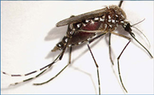 The A. aegypti mosquito, a carrier of dengue fever.