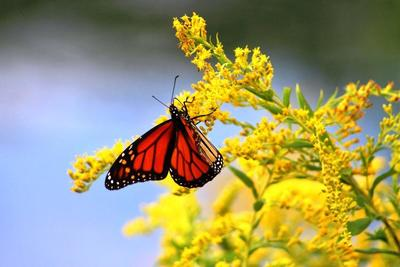 Monarch Butterflies Are Attracted To Nectar Rich Goldenrod And Other  Fall Blooming Flowers.