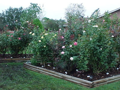 With proper planning, you can continue to grow rosebuds during the winter.