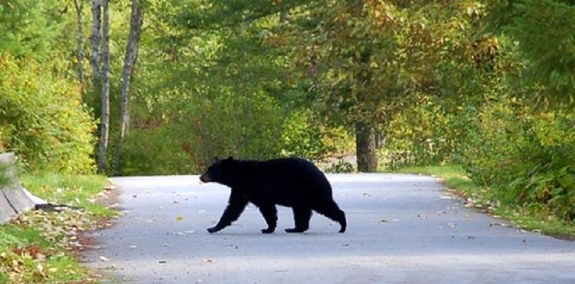 A bear takes a stroll in Pinecrest, N.J.