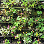 Some more adventurous vertical gardeners are growing food such as strawberries against a wall.