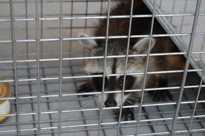 When the weather gets cold, raccoons and other critters start looking for ways into your home.