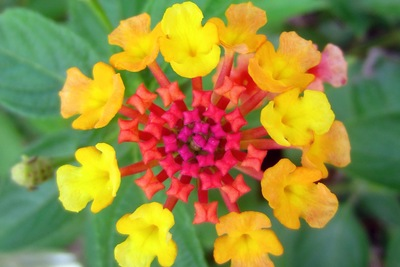 Lantana is a plant that deer typically don't enjoy eating.