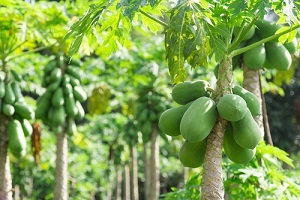 Genetically engineered, virus-resistant papaya are said to have saved the industry in Hawaii.
