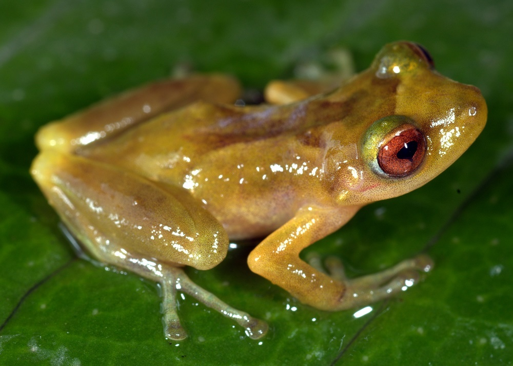 A team from SIU-Carbondale discovered this frog species in the Amazon rain forest.