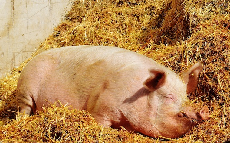 Senecavirus A (Seneca Valley Virus) gives pigs lesions surrounding their mouths, snouts and hooves.