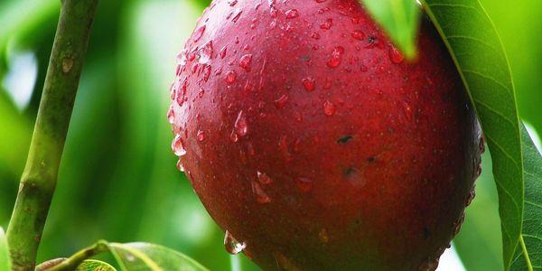 Large red mango