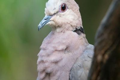 Medium dove