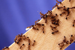 Fire ants are among the least welcome house or yard guests in the Texas summer.