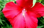 Add color with hardy hibiscus, tropicals and annuals; fertilize warm season grasses.