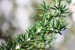 The pungent leaves of rosemary flavor a variety of dishes.