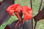 Cannas provide a bright backdrop to the flowerbed.