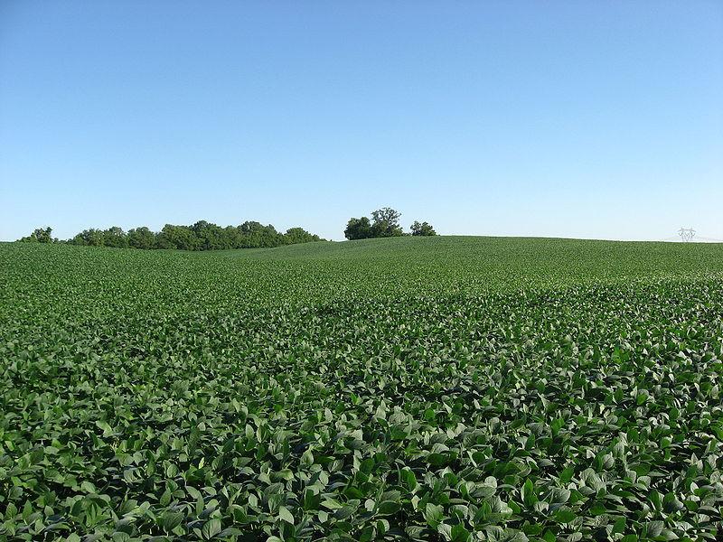 Soybean field in Ohio