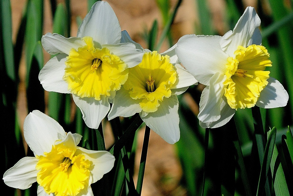 "Customers were given two five-stem daffodil bouquets – one they kept and the other to ""petal it forward."""