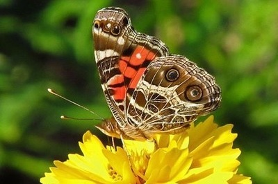 The Austin Butterfly Forum will hold its annual butterfly count event at the Zilker Botanical Garden Center on June 25.