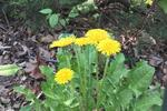 Dandelions will regrow unless they're pulled up from the roots.