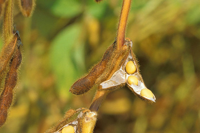 Medium soybean.usda