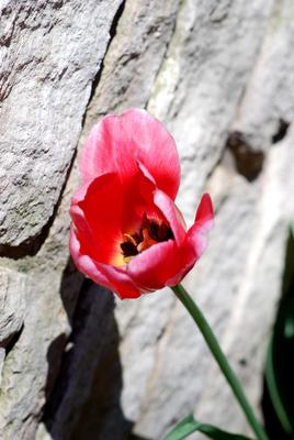 Tulips can be a dependable bulb to grow in your garden.