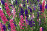Larkspur grown from seeds
