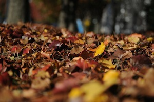 Medium leaves(300)